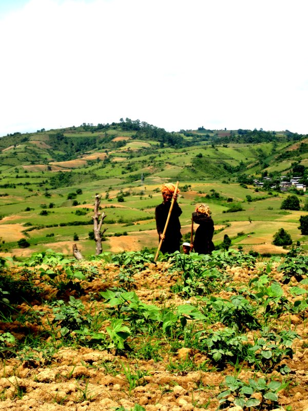 Pa-O tribe ladies working the fields