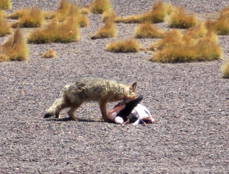 Fox eating a flamingo <img class='img' src='http://www.travellerspoint.com/Emoticons/icon_sad.gif' width='15' height='15' alt=':(' title='' />