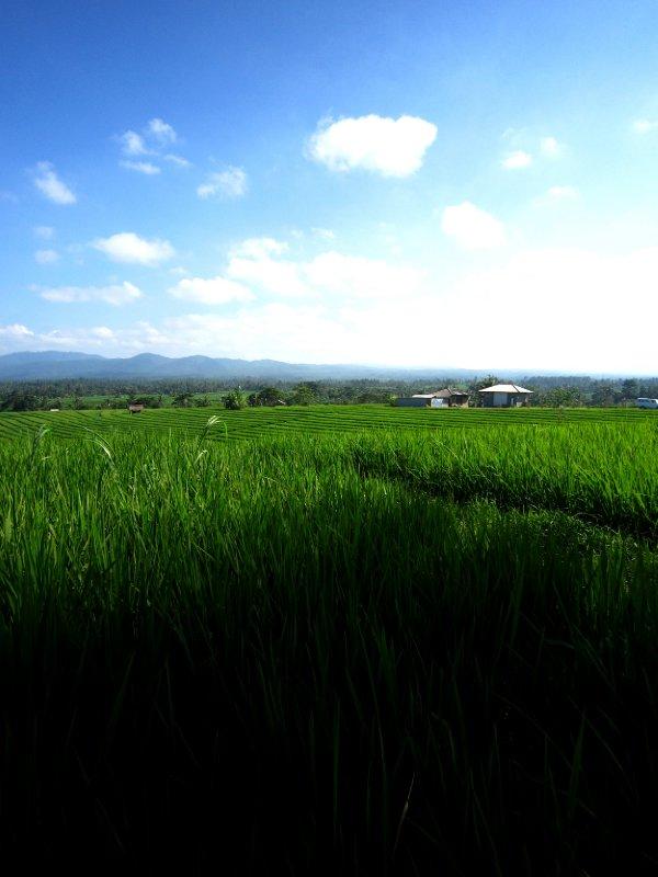 Beautiful rice fields in Bali