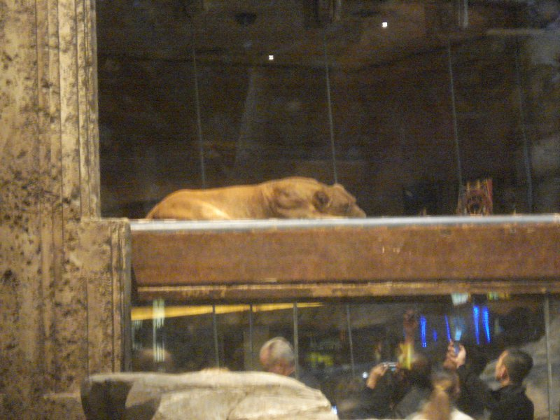Real Lions in the MGM Grand
