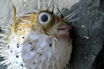 Z - Blowfish