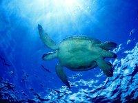 Turtle_underwater.jpg