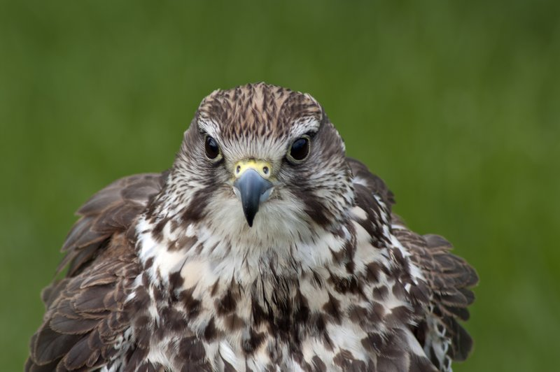large_Saker_Falcon.jpg