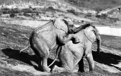 young elelphants playing