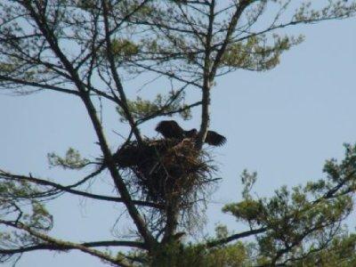 Eagles of Lake Santeetlah, NC