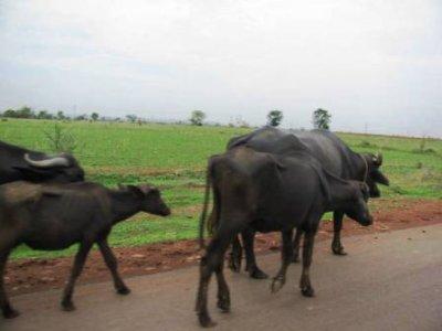 3Buffalo_wa..on_road.jpg