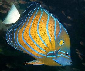 Blue_Ringed_Angelfish.jpg