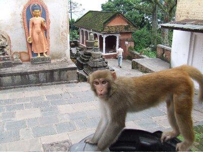 Monkey_at_..thmandu.jpg