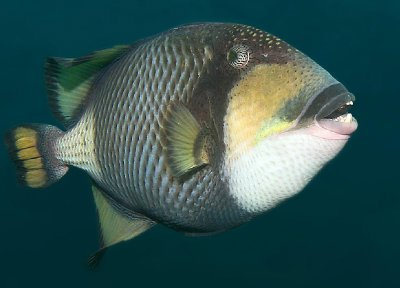 TitanTriggerfish.jpg