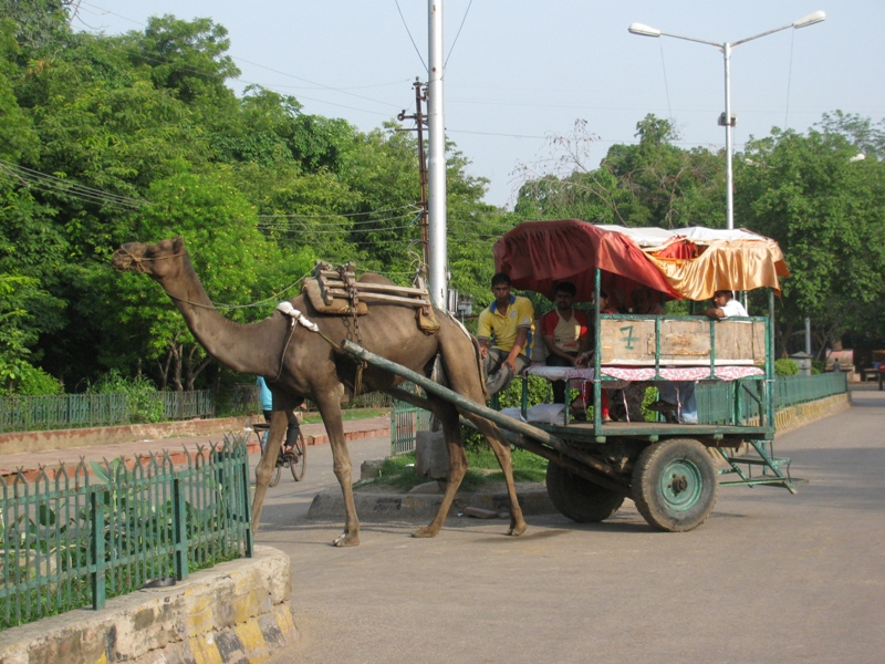 Camels are the new Rickshaws