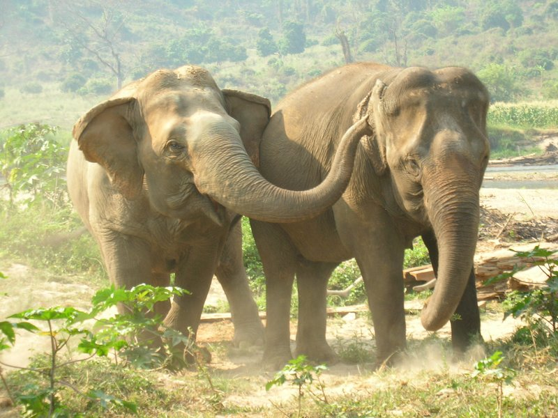 Elephants at Elephant Nature Park