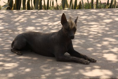 Peruvian Hairless Dog - the Moches kept these dogs