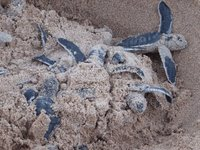 Green Sea Turtles emerging from nest