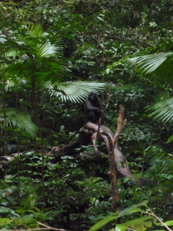 Black Crested Macaque @ Tangkoko Nature Reserve