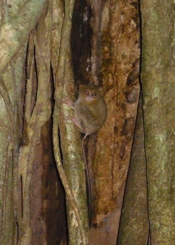 "Tarsier (""spookdiertje"") @ Tangkoko Nature Reserve"