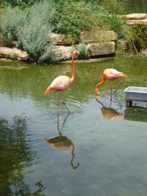 Abilene_Zoo_Flamingos.jpg