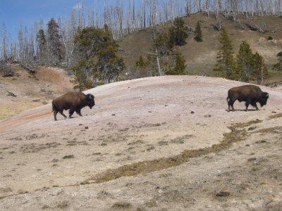 Buffalo Yellowstone National Park  May 17, 2010