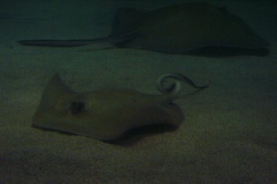#7 National Aquarium Freaky Tailed Ray