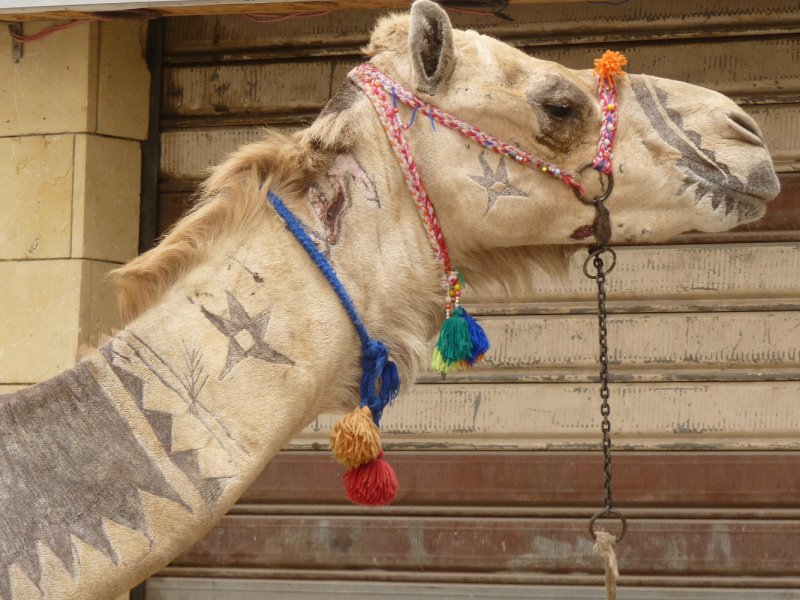 Camel with some tattoos!