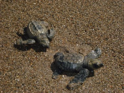 Little turtles going to the sea