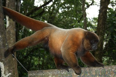 The big wolley monkey alfa male showing who´s the boss in this part of the jungle