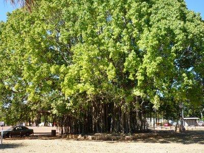 beautiful tree at Mataranka