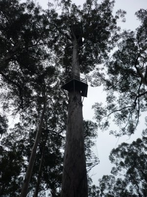 treehouse on a giant karri tree
