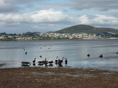 Albany and the black swans