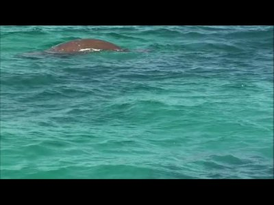 dugong at Monkey Mia