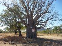 boab tree 1