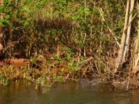 can you see the fresh water croc?