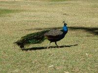 peacocks in the park at Lake Moondarra