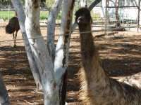 curious emu at Wycliffe Well