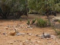 red kangaroos at Desert Park