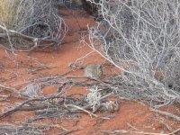 rabbit at the dunes