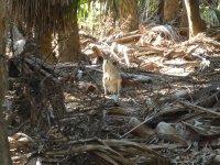 wallaby in the debris