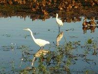 mirror images - egrets