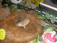 a biggish lizard - Geoff's mate