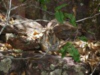 a sleepy rock wallaby