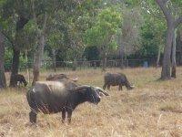 Crocodile Dundee buffalo