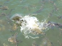 greedy fish of the Ord river