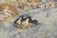 a big clam