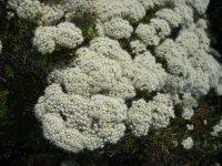 cauliflower wild flowers