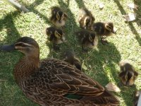 more ducklings