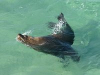 Sammy the seal waiting for some fish off the jetty at Esperance