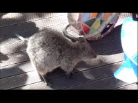 quokka shopping