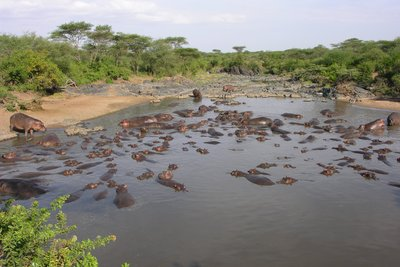 Hippo Pool in Serengeti