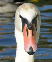 Swans head