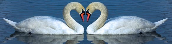 The Love Swans