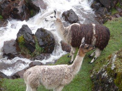 Llama's, The Lares Trek